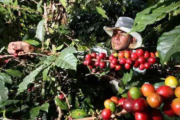 Recogida de café en Cuba. (PRENSA LATINA)